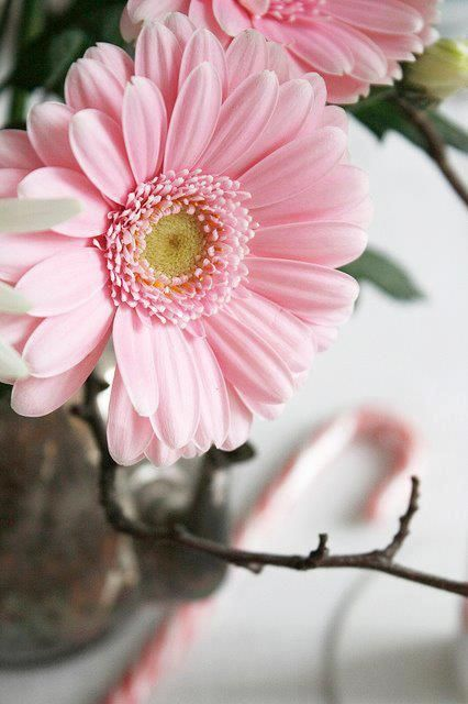 Pink Gerbera---my favorite flower! With baby's breath in a vase--its gorgeous༺✿Teresa Restegui http://www.pinterest.com/teretegui/✿༻
