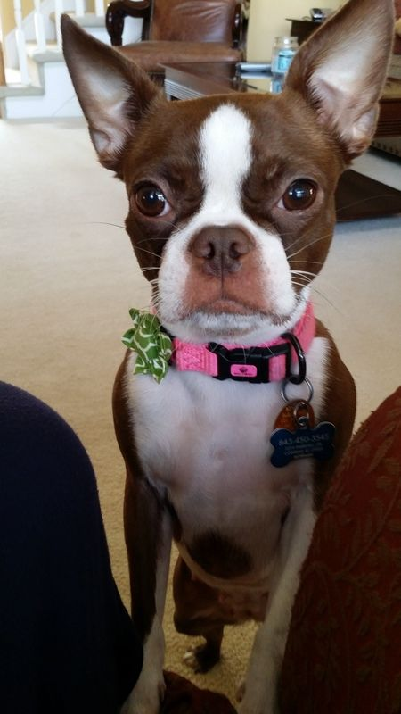 She loves pictures! | Boston Terrier Friendzy