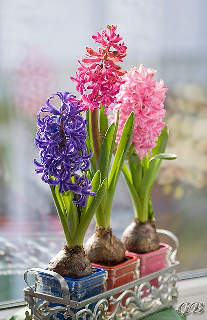 Hyacinths ~ indoor air freshener - such a beautiful scent