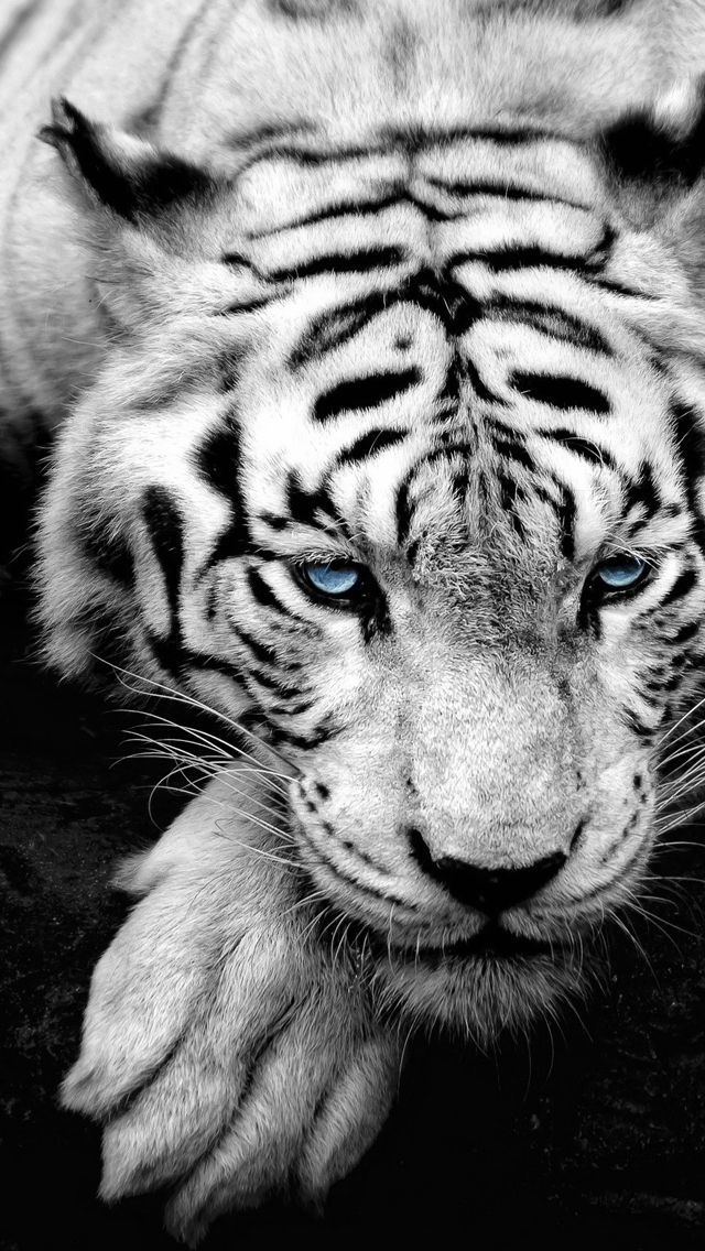 Bue Eyed Tiger Portrait iPhone 5 Wallpaper
