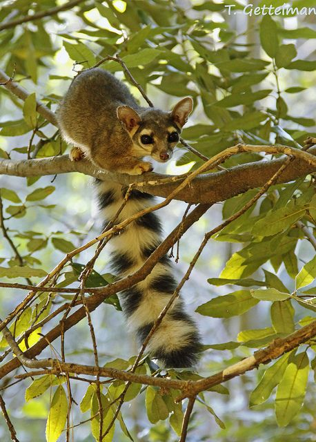 "Ringtail (Bassariscus astutus):  The ringtail is a mammal of the raccoon family, native to arid regions of North America. It is also known as the ringtail cat, ring-tailed cat, miner's cat or ""marv cat,"" and is also sometimes mistakenly called a ""civet cat."""