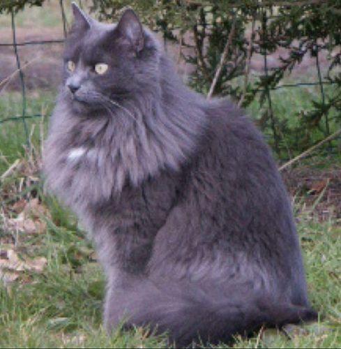 Fluffy Long Hair Smoke Gray Cats