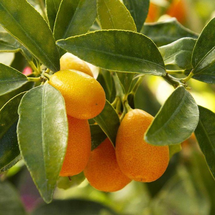 127 best edible plants images on pinterest vegetable for Plante kumquat