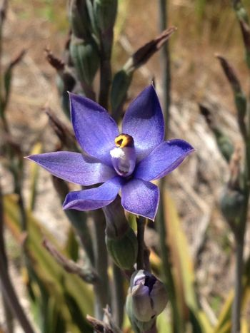 Thelymitra, sun orchid, South Coast of WA