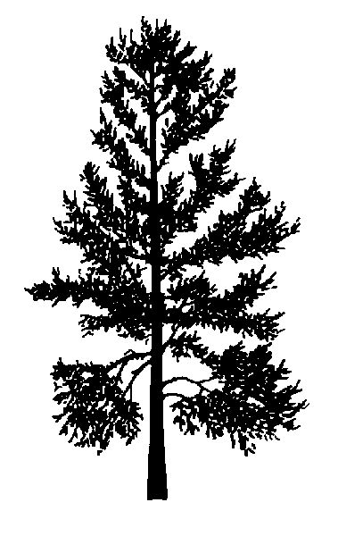 Silhouette whitebark pine