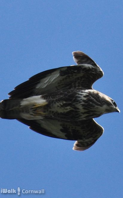 Buzzard about to dive near Pendennis Castle, Falmouth, Cornwall