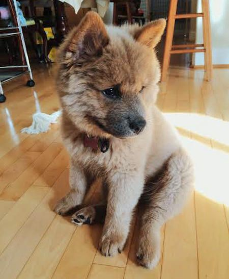 Chow-chow and Husky Mix