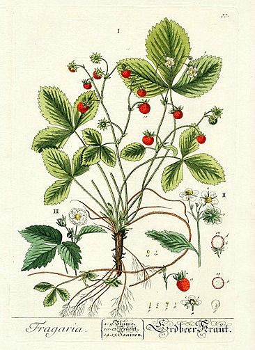 Elizabeth Blackwell    Strawberry    1757    http://www.panteek.com/Blackwell/index.htm