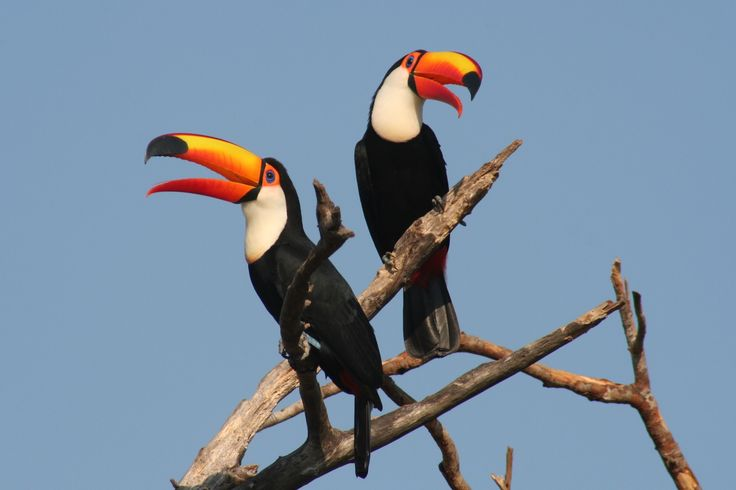 Pantanal - Toucan
