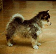 Pomsky, Pomeranian husky mix