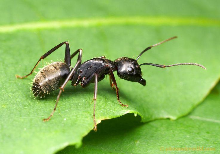 Camponotus pennsylvanicus, the eastern black carpenter ant.  South Bristol, New York, USA