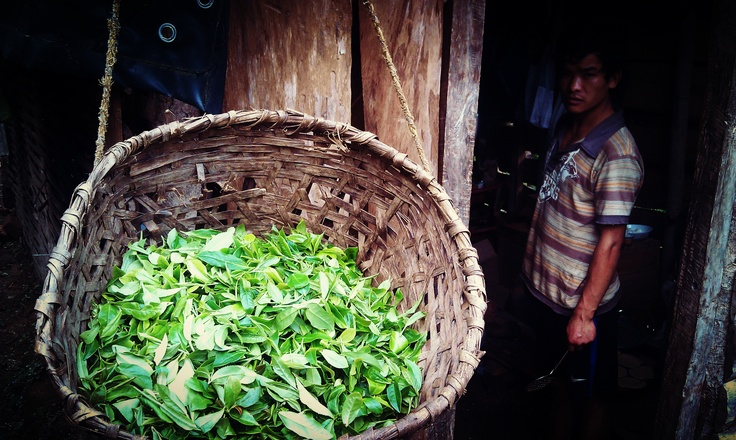 #DarjeelingTea - freshly picked tea leaves from the www.tathagatafarm.com ready for drying.