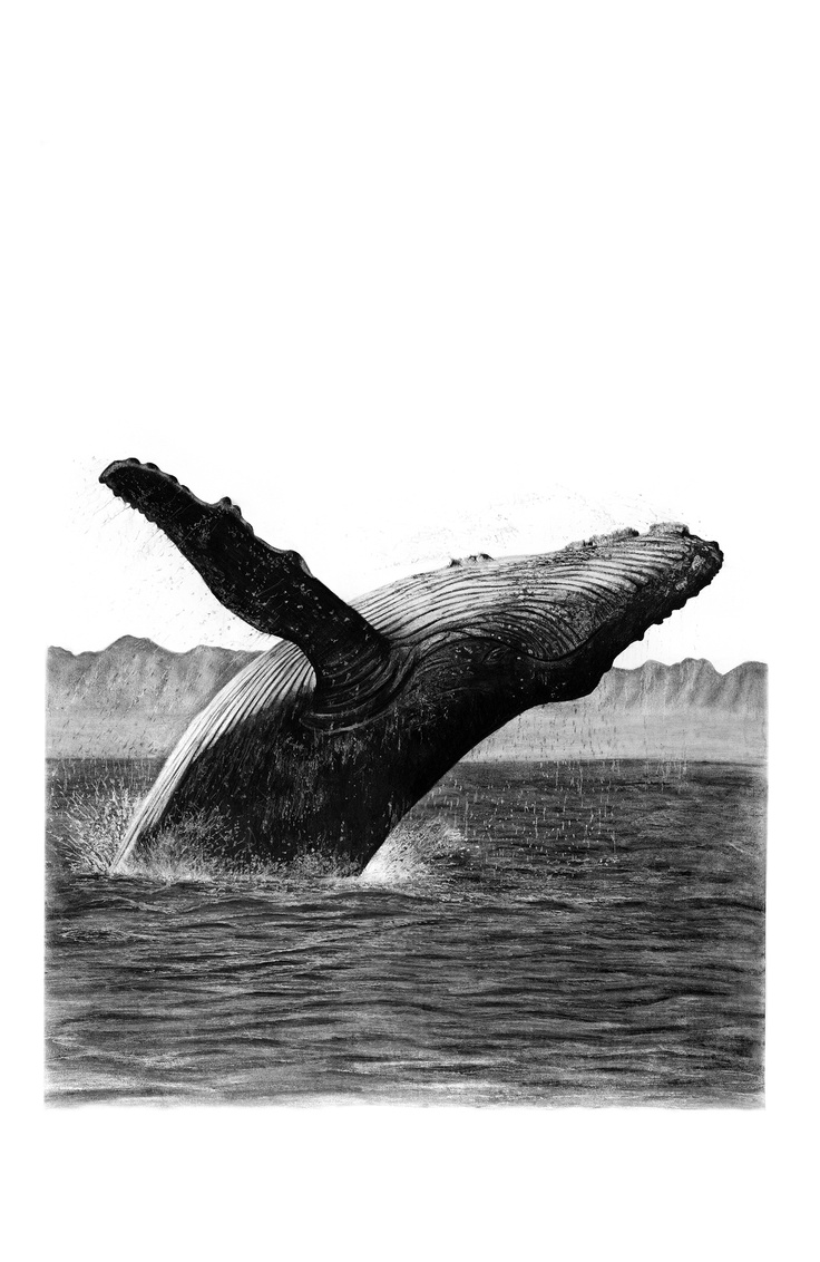 Charcoal Drawing by Ashleigh Olsen, Drawing of whale, Humpback whale drawing, Whale Art, Charcoal drawings