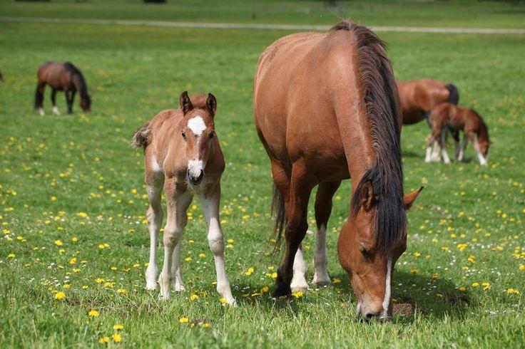Freiberger Pferde in den Franche Montagnes II von Rezzano