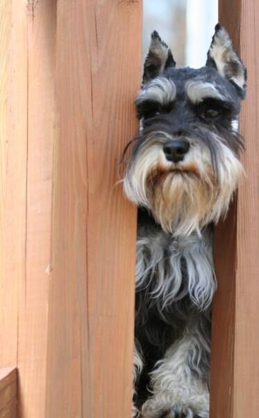 OMG this is such a darling little mini Schnauzer Link: https://www.sunfrog.com/search/?64708&search=schnauzer&cID=62&schTrmFilter=sales