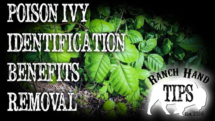 Poison Ivy Identification, Environmental Benefits, Natural Removal, Best Herbicide. Poison Ivy, Poison Oak, Poison Sumac are Toxicodendron Radicans. Poison I...