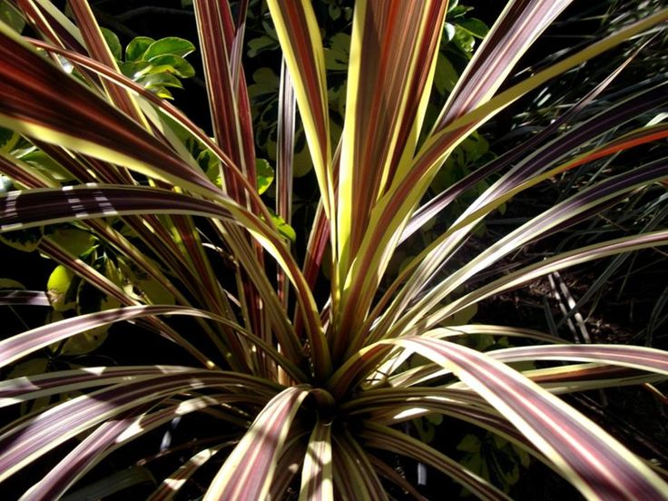 Cordyline banksii 'Electric Flash'   Plants in my garden ...