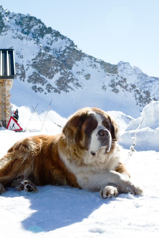 The iconic dog breed of the Swiss Alps. #dogs #snow #winter SkiMag.com