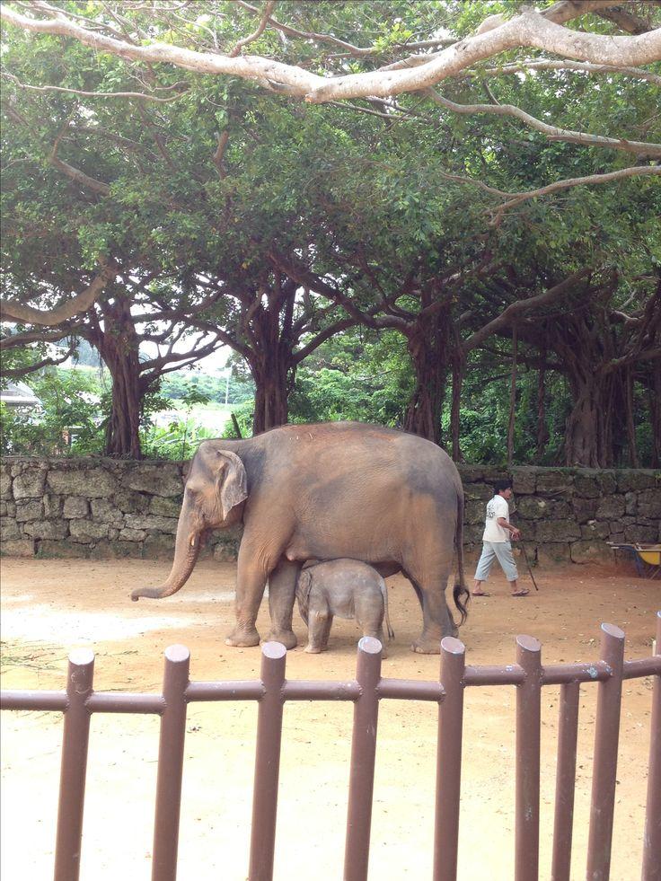 沖縄子供の国 インド象の親子