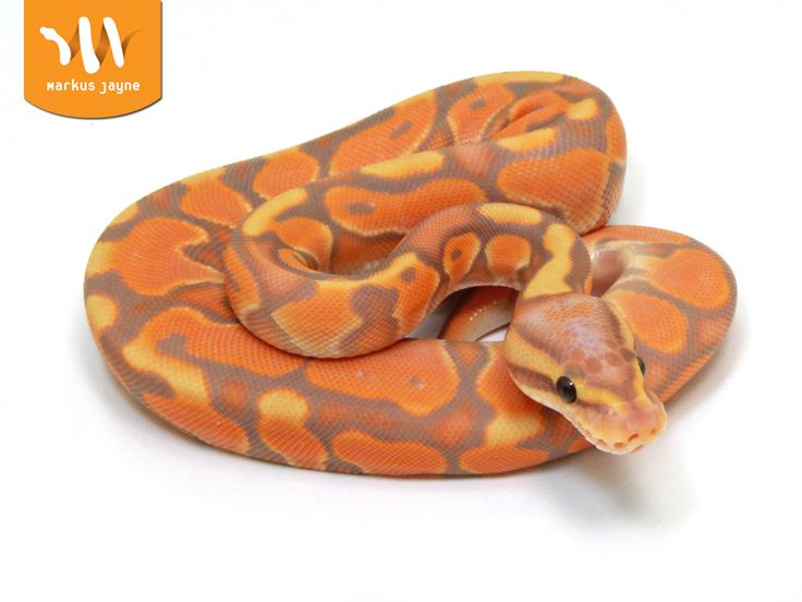 Banana Enchi Cinnamon - Morph List - World of Ball Pythons