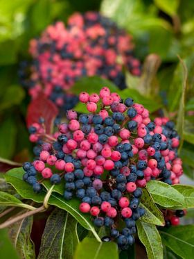 Viburnum Brandywine - Bluestone Perennials. This is the best shrub for pretty berries! And it really does look this good in full sun with average water & soil here in my zone 6 yard. Super fall & winter accent & bird food source!