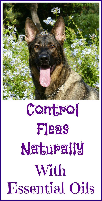 25 best ideas about natural flea control on pinterest natural flea remedies natural flea. Black Bedroom Furniture Sets. Home Design Ideas
