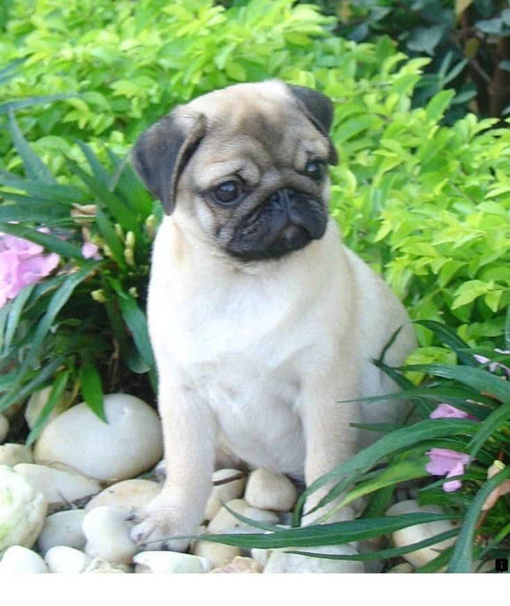 Find Out About White Pug Puppies For Sale Just Click On The Link