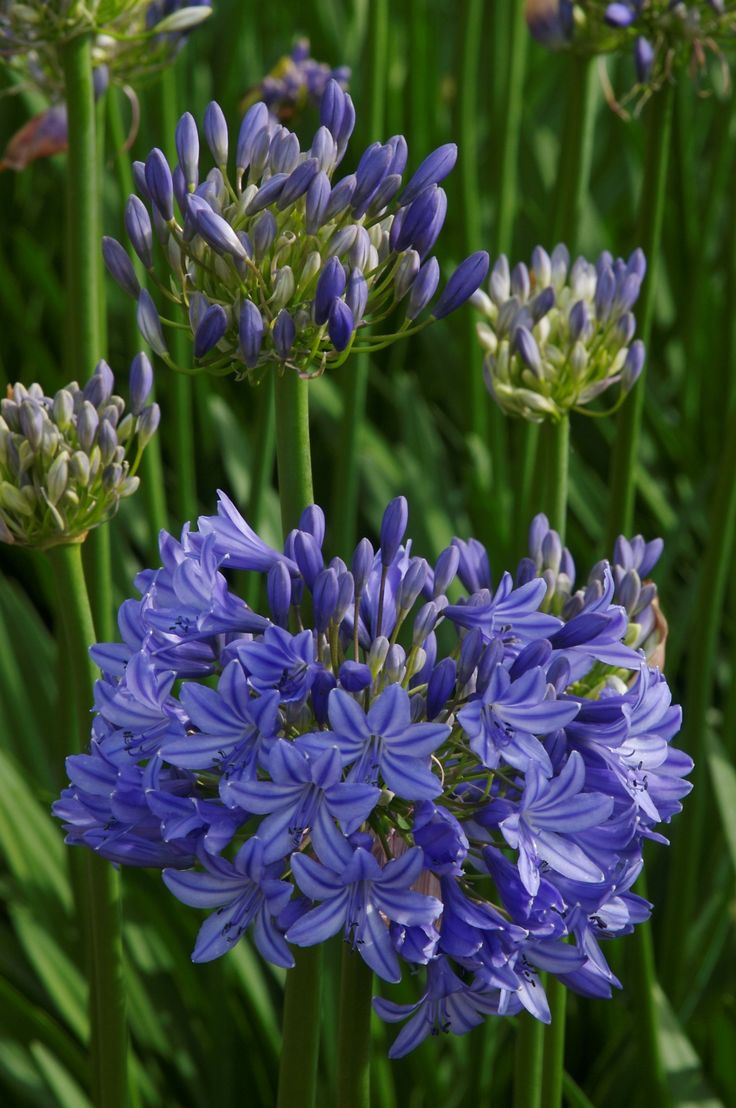 258 best agapanthus the flower of love images on pinterest midknight blue agapanthus monrovia midknight blue agapanthus dhlflorist Images