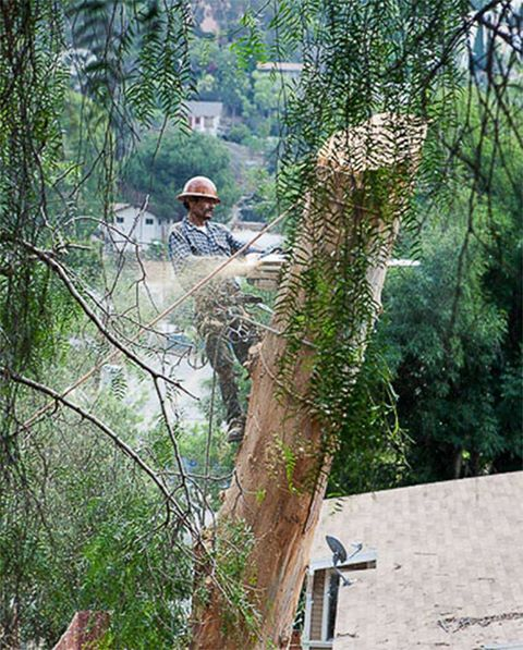 Tree Pruning services in Sacramento by us. for more information visit :http://www.cisnerostreecare.com/