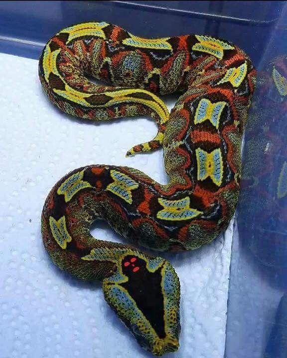 Bitis víbora, altamente venenosa, causa más muertes que cualquier otra  serpiente africana. Note… | Animales salvajes bonitos, Reptiles y anfibios,  Víboras venenosas