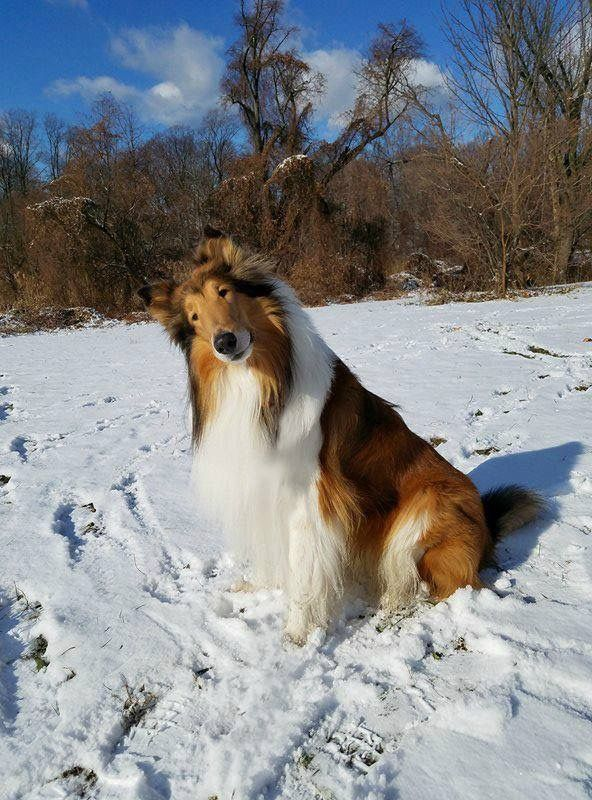 Beautiful Photo Of This Lovely Collie Playing In The Snow They