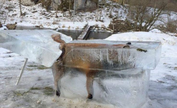 La ola de frio deja congelado a un zorro en Alemania.(Foto)