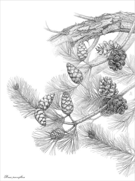 Pinus parviflora botanical illustration by Gábor Emese Hungarian artist