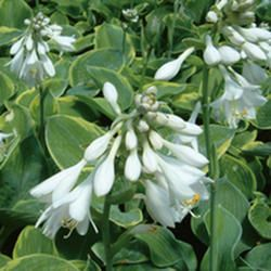 search results for 39 hosta sieboldiana 39 plants perennials pinterest. Black Bedroom Furniture Sets. Home Design Ideas