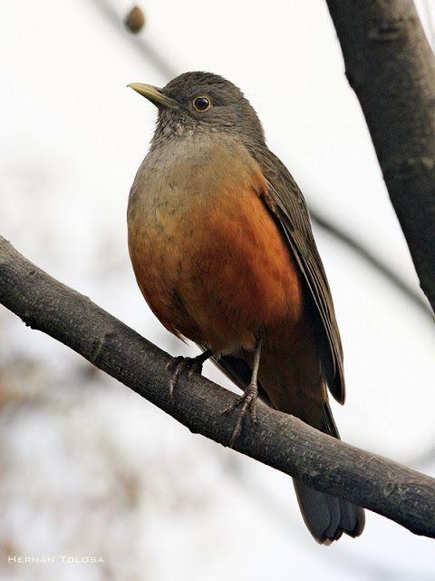 Aves de Argentina: Zorzal colorado (Turdus rufiventris) - Gesell