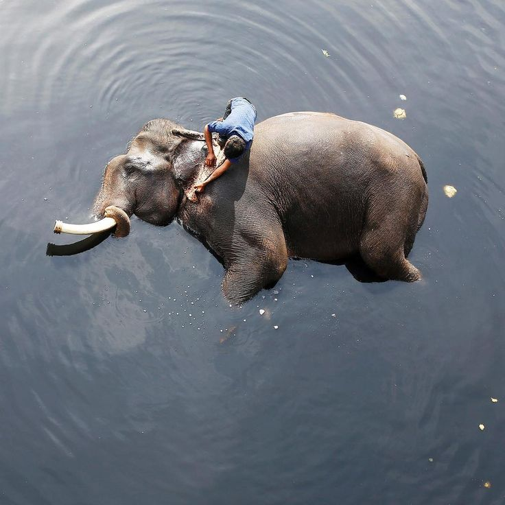A mahout, or elephant rider, bathes his #🐘 in the polluted water of the Yamuna River in New Delhi, India, on Feb. 6. Photograph by @adnanabidi—@reuters