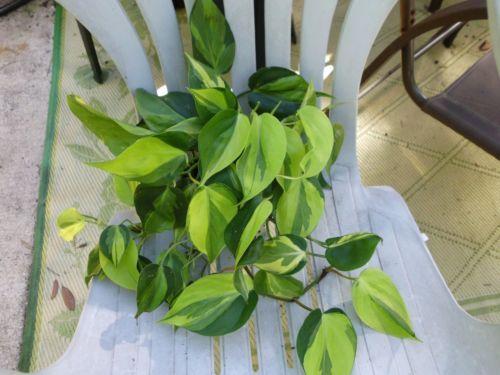 Variegated philodendron 'lemon lime vine' plant houseplant