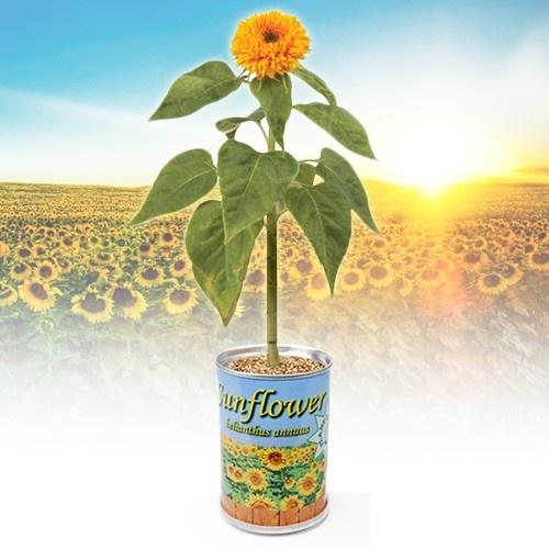 Sonnenblume aus der Dose - ein originelles Geschenk für Mütter mit dem grünen Daumen. http://www.megagadgets.de/sonnenblume-aus-der-dose.html