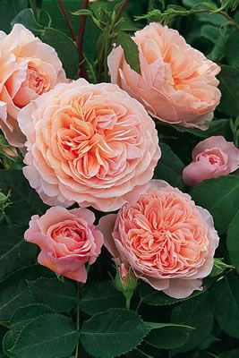 I've just begun adding David Austin Roses to my garden at BonaTerra Farms. This one is the 'William Morris.