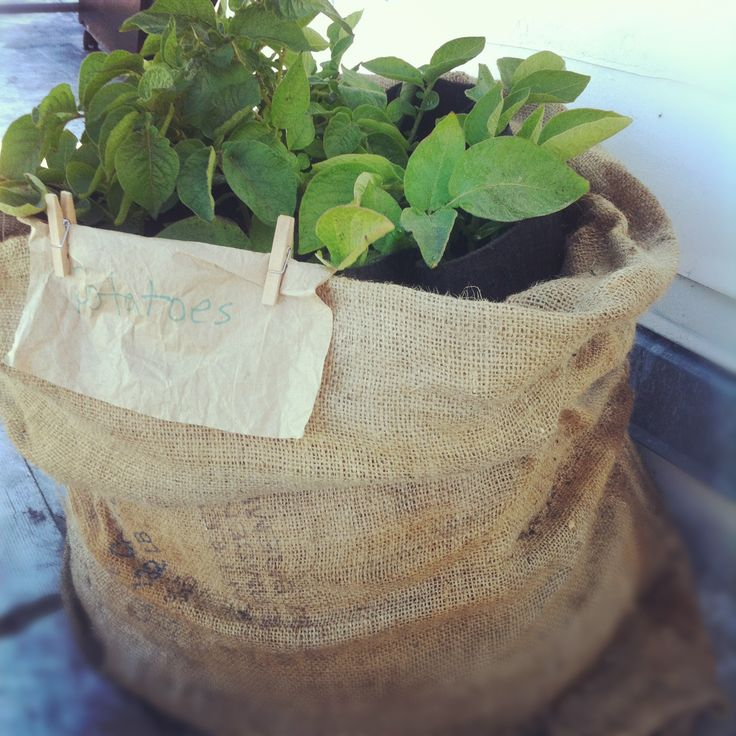 Des pommes de terre germées ? Plantez les dans un sac en tissu, et récoltez en ensuite de nouvelles !- Re-grow your produce. Potatoes can be grown in a burlap bag, or a feed bag of any sort, on your roof if you don't have room!