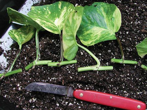 Each leaf of a vining plant such as pothos is a potential cutting.