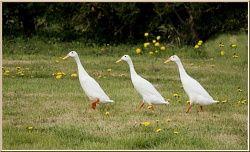 Canard coureur indient blanc