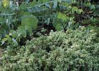10 Ornamental Herbs