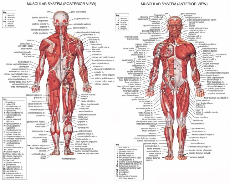 anatomy   Anatomy Of The Human Body Muscles   Anatomy Picture Reference and ...