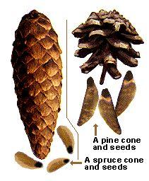 Männyn ja kuusen siemenet ka kävyt.gif (211×256)