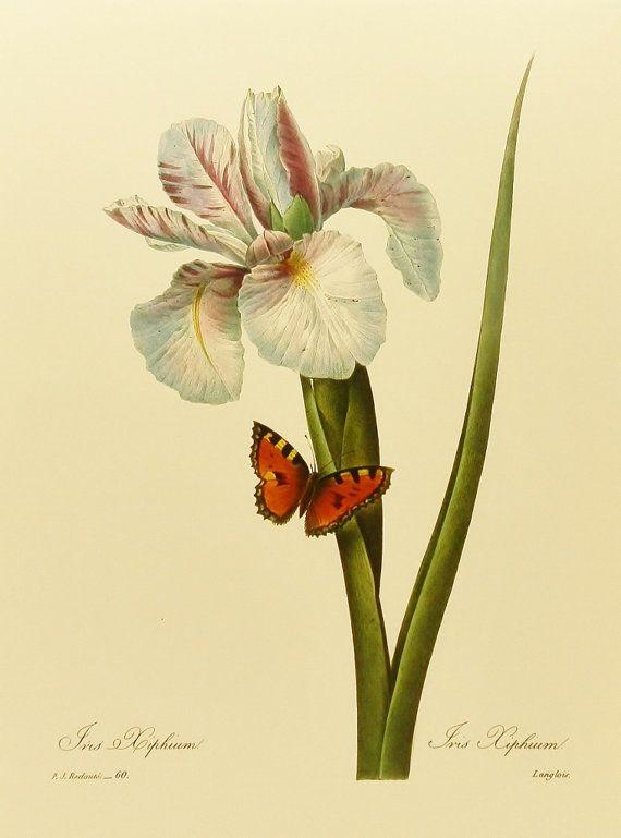 Vintage Spanish Iris Redoute Flower Print by earlybirdsale on Etsy, $5.00