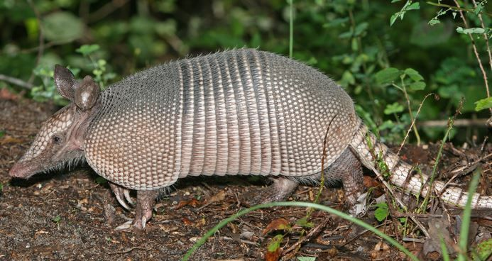 Floridians urged to avoid leprosy-infected armadillos  Leprosy cases in Florida are higher than normal, and experts are blaming armadillos.  http://www.sun-sentinel.com/health/fl-ap-armadillo-leprosy-cases-20150721-story.html