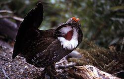 Dendragapus obscurus USNPS.jpg El gallo de las Rocosas (Dendragapus obscurus) es una especie de ave galliforme de la familia Phasianidae que habita en los bosques de las Montañas Rocosas de América del Norte.1 2 Está tan cercanamente relacionado con Dendragapus fuliginosus, que hasta hace poco se debatía si eran o no especies separadas.