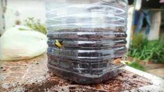 Ecco Come Coltivare Cipolle Tutto L'anno In Un Appartamento o sul vostro Terrazzo In Modo Ingegnoso