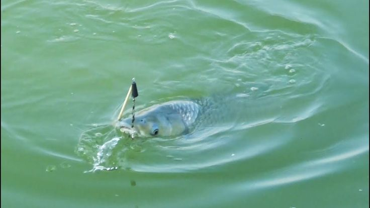 Big Grass Carp Fish Hunting And Fishing By Dipu